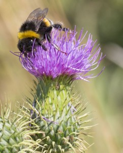 Hummel an Distel