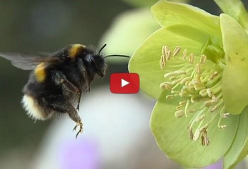 Bienensterben: Wie Pestizid-Cocktails Hummeln zusetzen