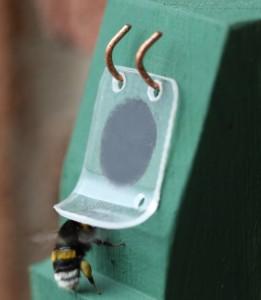 Hummel mit Pollen beim öffnen der Klappe