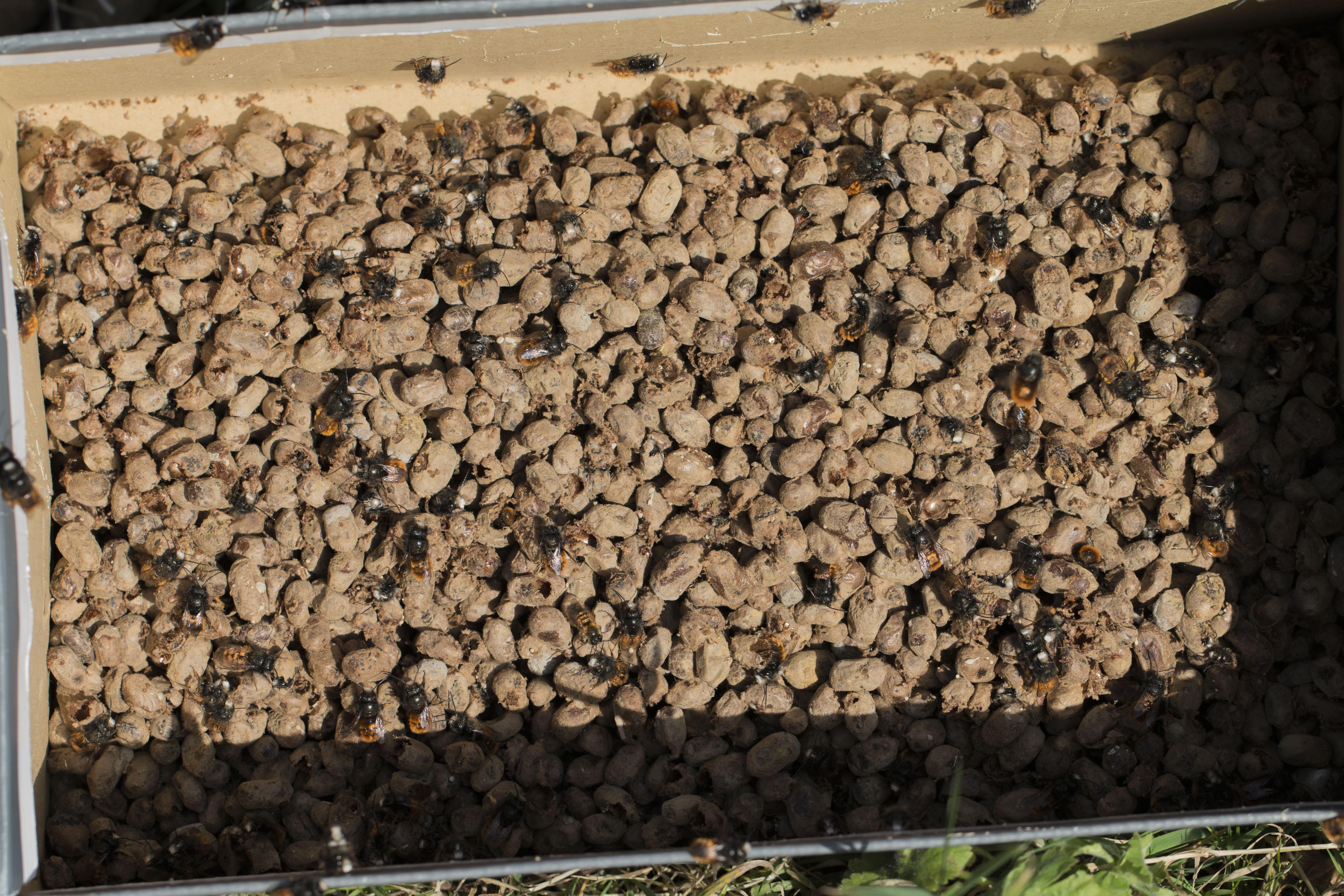 Gehörnte Mauerbienen